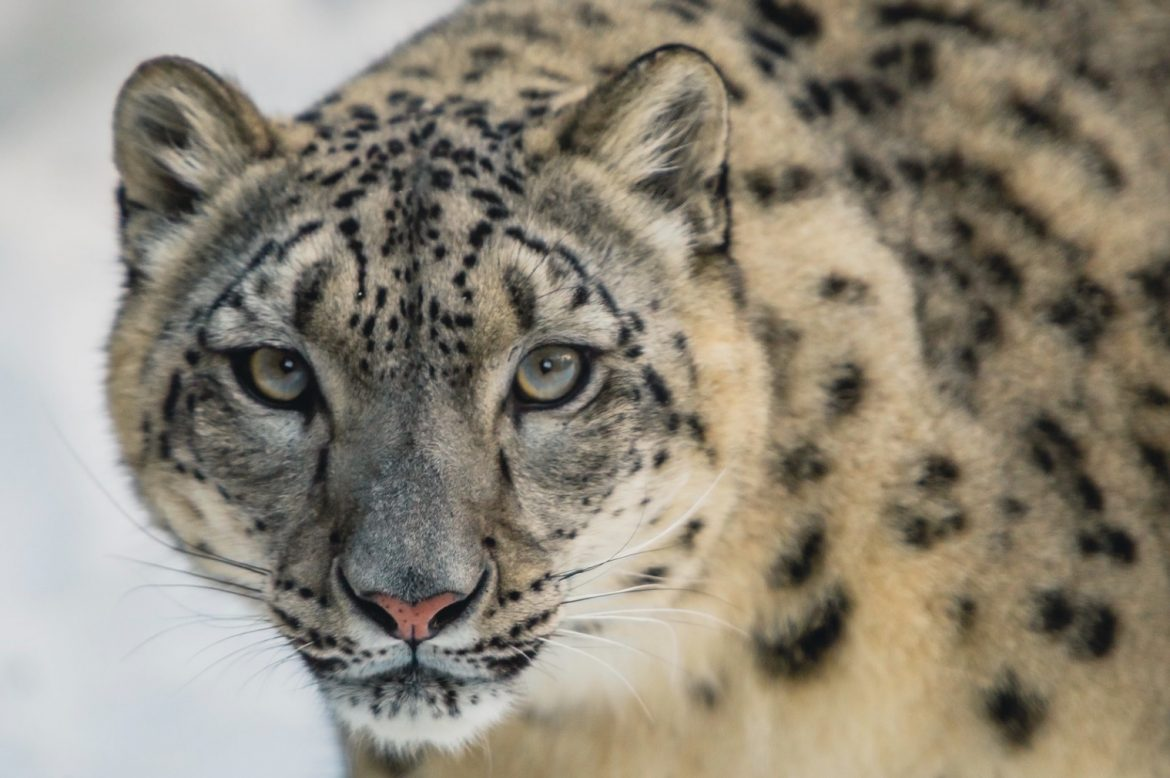 The results of the first satellite monitoring of the China's wild snow leopards are in